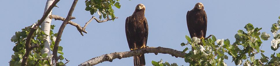 A pair of imperial eagles (Photo: Márton Horváth)