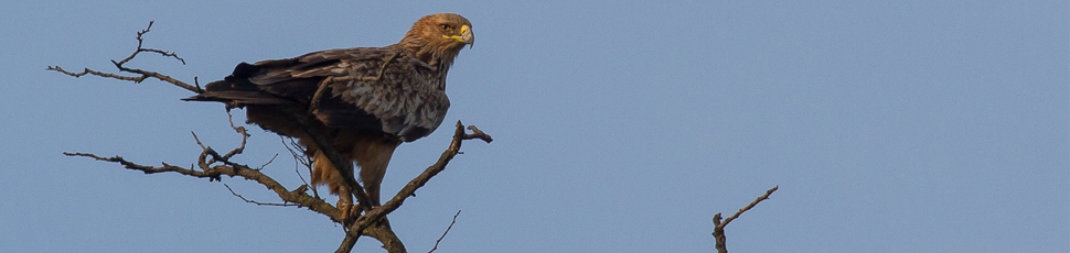 Imperial eagle perching on tree (Photo: Márton Horváth)