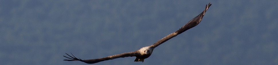 Flying adult imperial eagle (Photo: Márton Horváth)